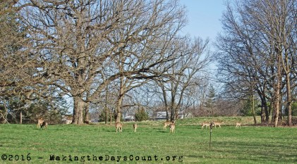 deer graze and play in the morning light