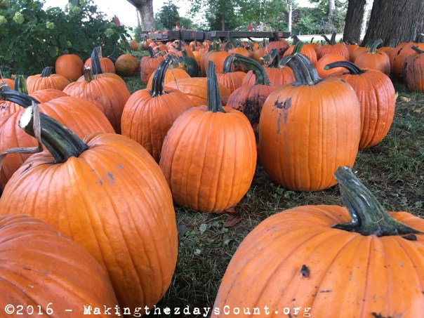 pumpkins in Earlville, iL - we go back every year