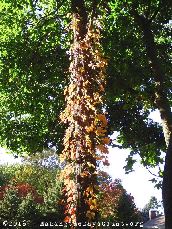 ivy leaves shine a brilliant red-orange