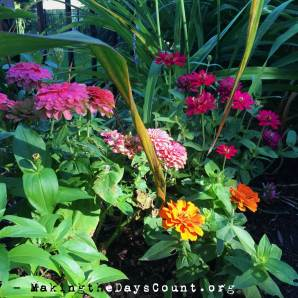 zinnias at home..