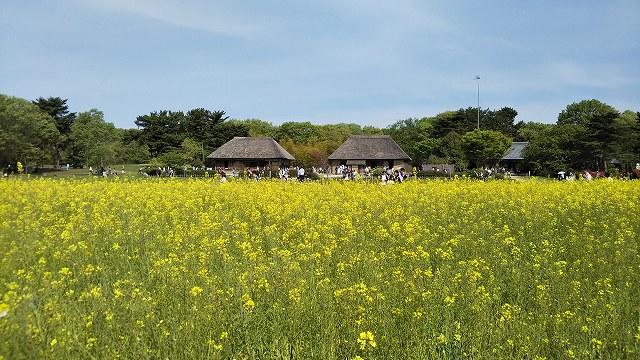 ひたち海浜公園 菜の花