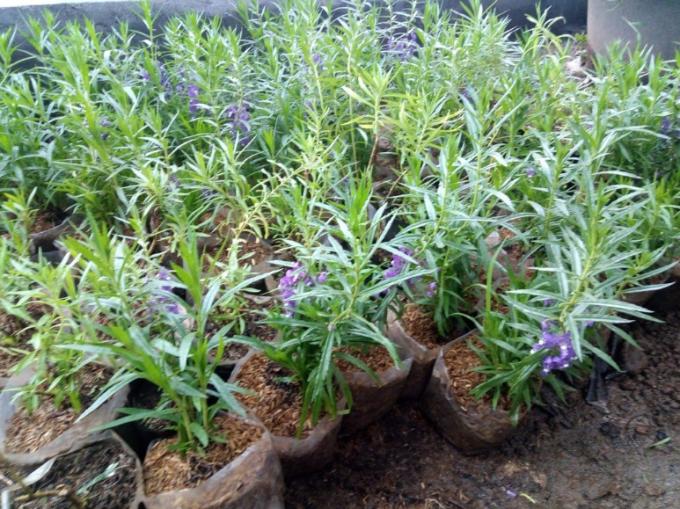 bunga lavender tanaman pengusir nyamuk beserta cara menanamnya