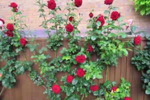 cara menanam bunga mawar rambat