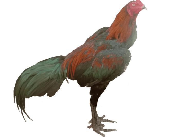 ayam aduan terbaik