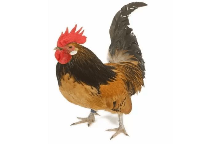 jenis-jenis ayam kate