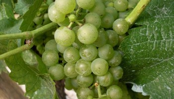 Canada wine grapes image from Flickr's Creative Commons by James G. Milles