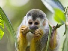Suriname - Meerkat