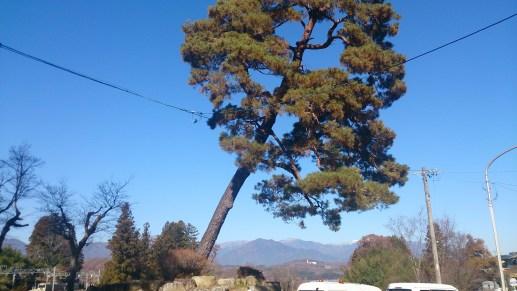 天竜峡の傾いた樹木