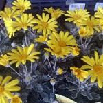 ホームセンターの花ユリオプスデージー