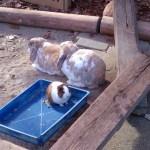 グリーンピア春日井のモルモットとウサギ01