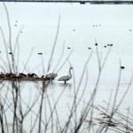 琵琶湖北水鳥公園の白鳥02