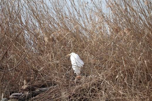 琵琶湖北水鳥公園のサギ01