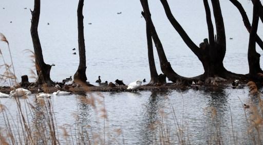 琵琶湖北水鳥公園の白鳥とカモたち01