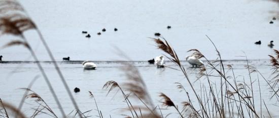 琵琶湖北水鳥公園の白鳥とカモたち02ピントが手前のススキ