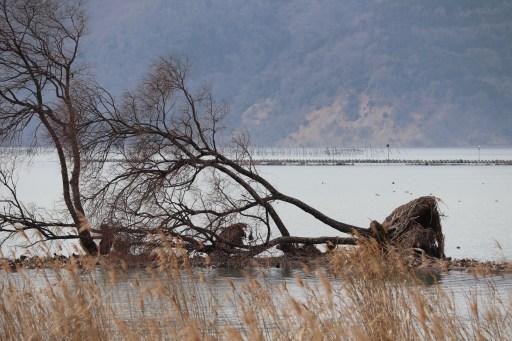 琵琶湖北水鳥公園の風か波かで倒れた樹木01