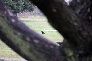 ソーラーアーク近くの公園にて樹木のスキマからカラス