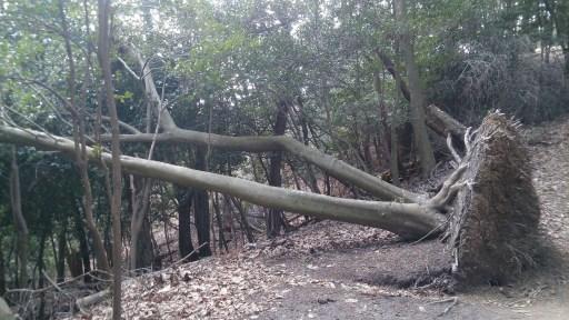 大文字山頂上付近の根っこから倒れている樹木