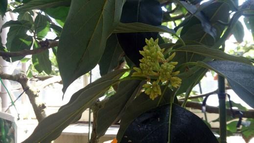 東谷山フルーツパークのアボカドの花