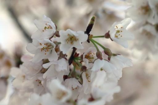 曼荼羅寺の桜の花びらアップ01