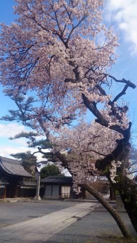 曼荼羅寺の桜の木1本の全体写真