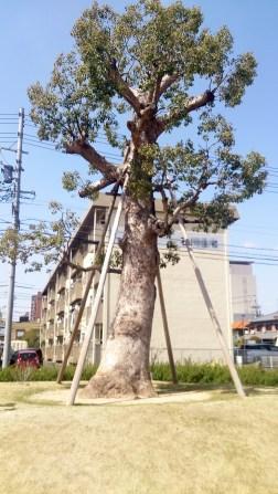 トヨエコ18のシンボルツリー