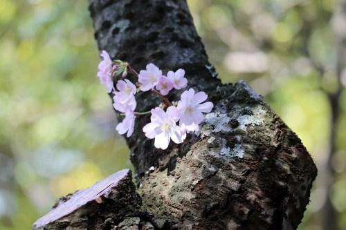 とよた美術11-7の木に生える桜の花