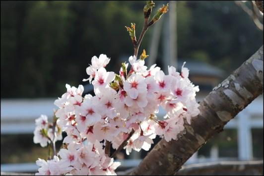 奥山田桜1-6