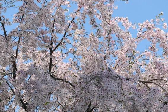奥山田桜2のラスト