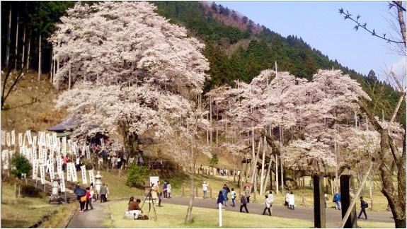 淡墨桜2の1-3