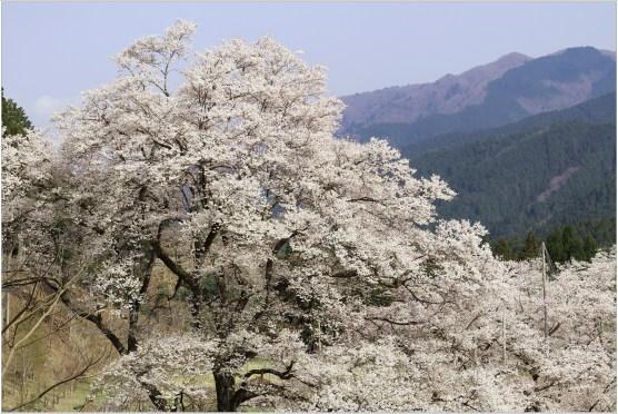 淡墨桜2の1-1
