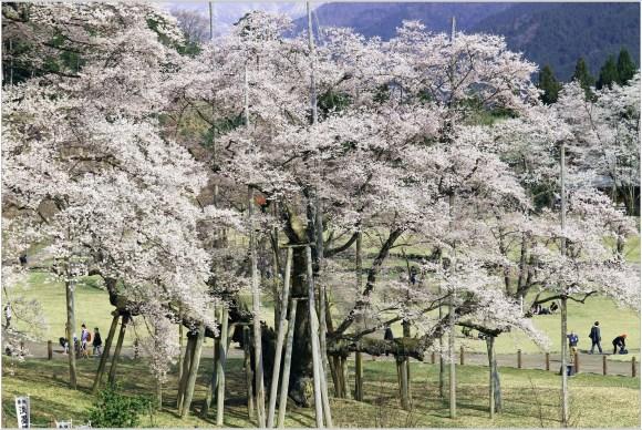 淡墨桜2のトップ