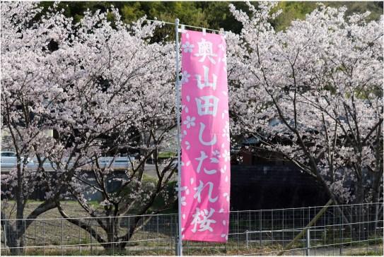 奥山田桜1の5-1桜ののぼり