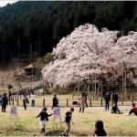 淡墨桜4のトップ