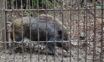 捕らわれた猪
