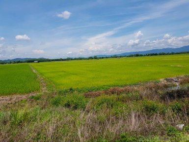 田植えも濟んで稲が伸びていた