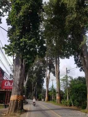 大木並木の旧街道