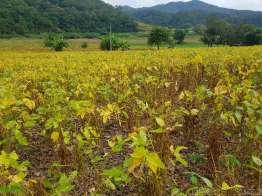 パイ周辺は大豆の産地