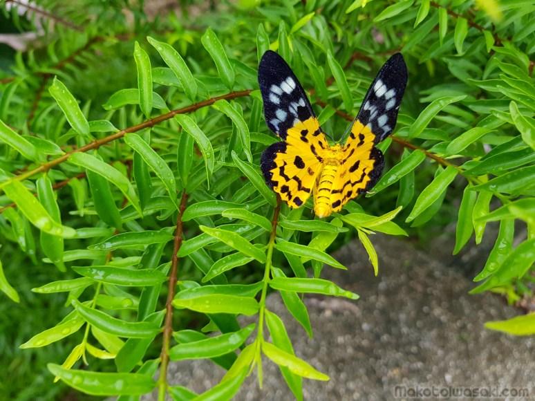 クロントン温泉カスケードの6月、蝶トカゲ