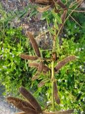 背高オジギソウの種