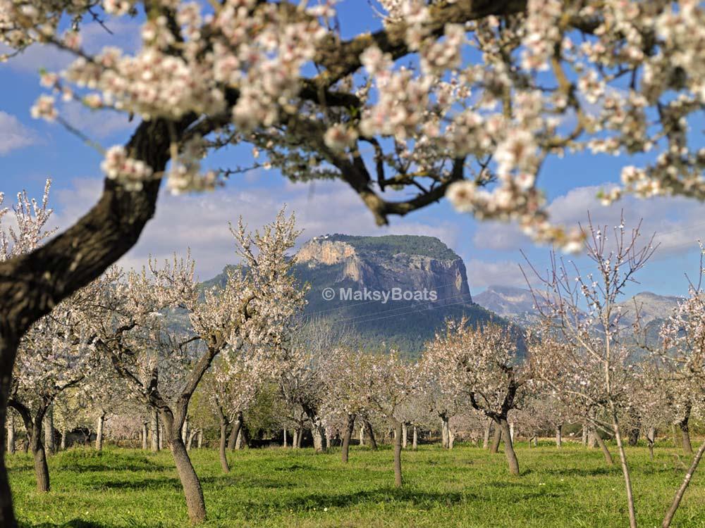 Flor de almendro en Mallorca