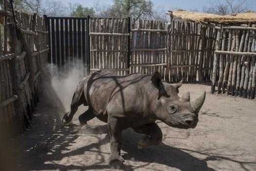 Two rhinos die