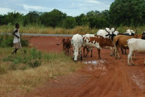 A girl herding cows in Pimperena. Image courtesy of the Vector Genetics Lab at UC Davis.