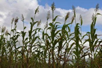 Malawi Crop