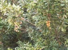 Macademia nuts Malawi