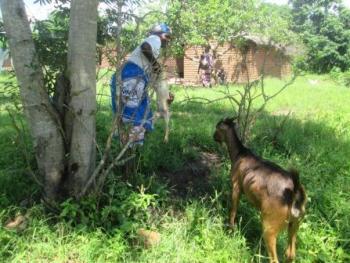 Livestock Farmer Malawi.