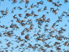 locusts Malawi