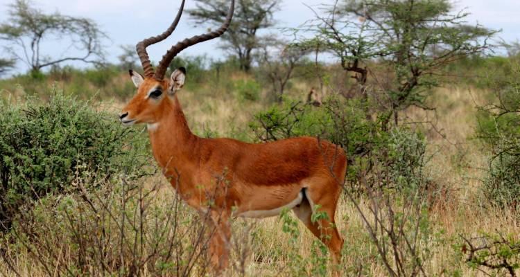 impala-entelopes