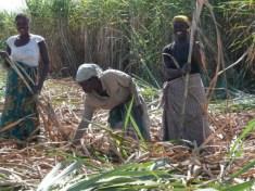 Kasinthula Cane Growers Limited