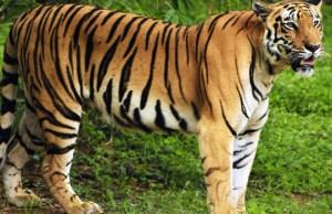 Permintaan tinggi terhadap hampir setiap bahagian pada Harimau Malaya menyebabkan nilai pasaran spesies terancam itu mencecah RM1 juta.