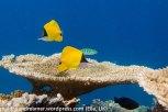 Athuruga Butterflyfish